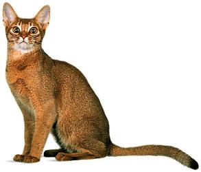 Lap Cat Breeds